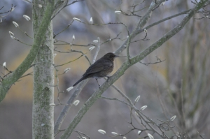Female blackbird on a tree branch