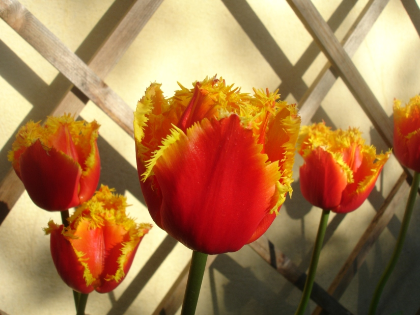 Red and yellow tulips with a frilled edge around the petals