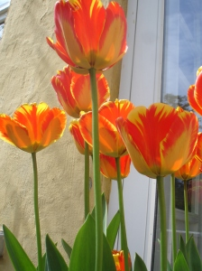 Red and yellow streaked tulips