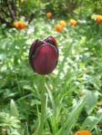 Dark purple queen of the night tulip